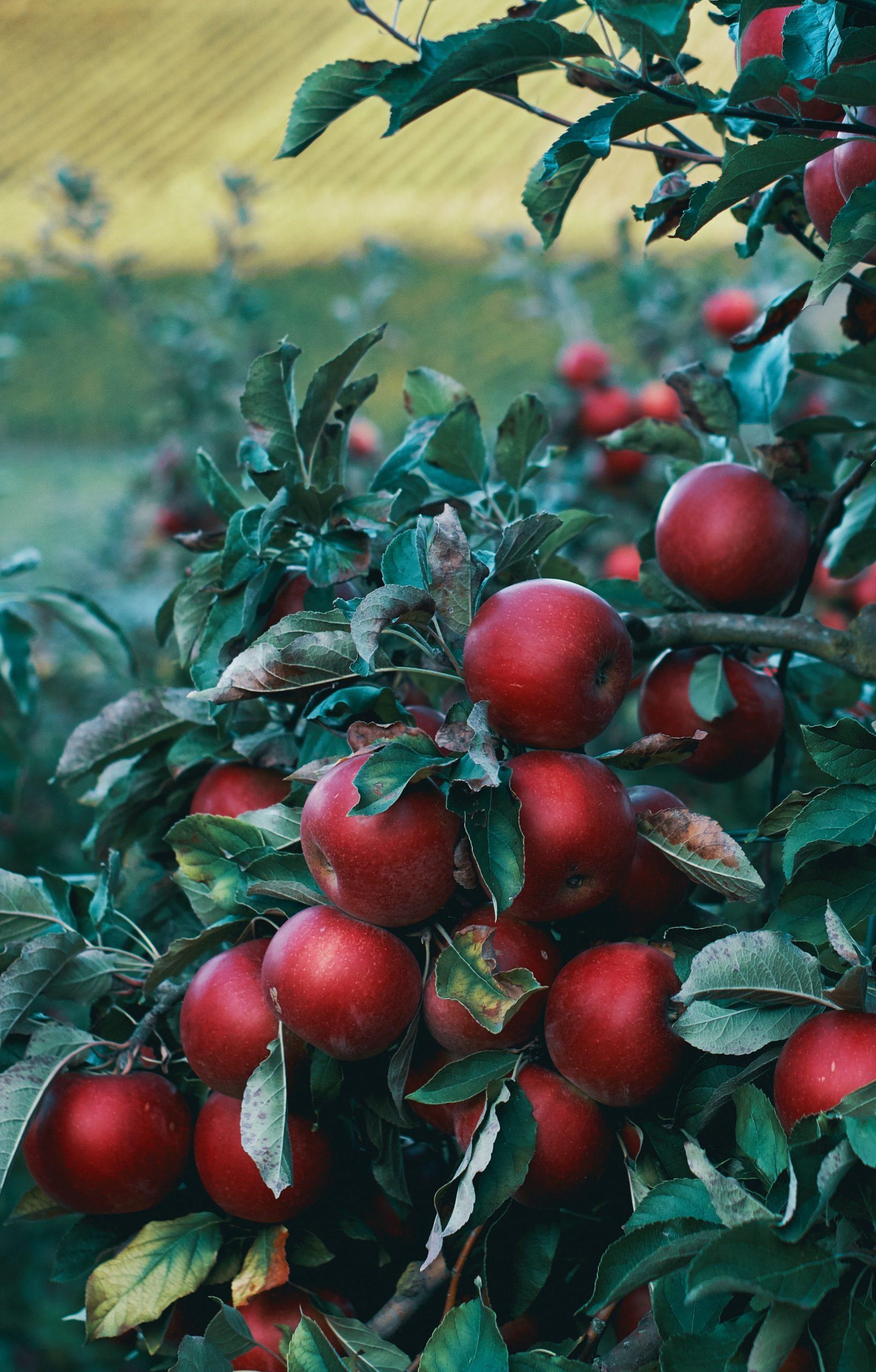 Äpfel von Ouverura | bewusst einkaufen | SOAP|KITCHEN|STYLE